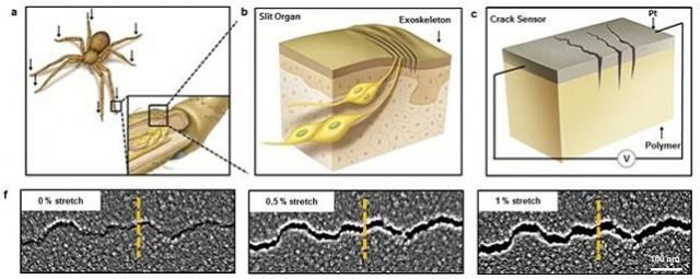 거미 발목의 미세균열을 모방해 센서를 만들었다. 균열이 벌어지면 접촉면적이 변하는 데 이 때 크게 변하는 저항값을 측정하는 원리로 진동을 감지한다. - 네이처 제공